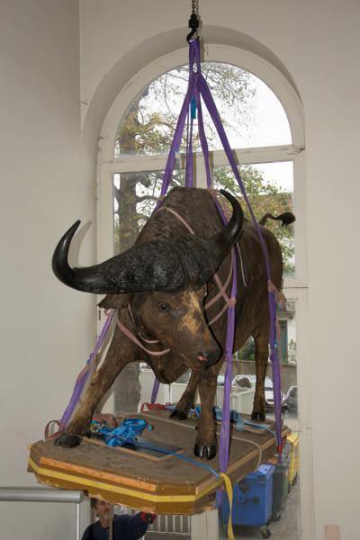 Dezelfde buffel een paar minuten later en enkele meter lager! (© Museum voor Natuurwetenschappen - Pascal Kileste)