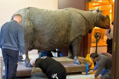 L'équipe prépare le rhinocéros pour la descente avec des sangles. (© Muséum des Sciences naturelles - Pascal Kileste)