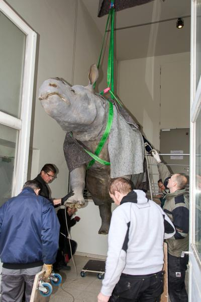 The hippopotamus is lowered. (© Museum of Natural Sciences - Pascal Kileste)