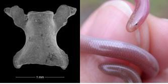 Left: scolecophidien vertebrate found in Hainin (Belgium). Right: Scolecophidien around a thumb
