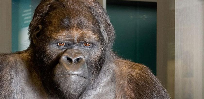 Gorilla / Gorille