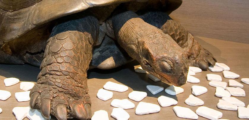 Tortue / Schildpad / Turtle / Schildkröte (CITES)