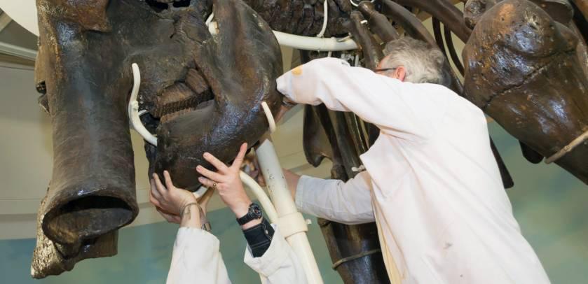 Ontmanteling van onze mammoet: twee mannen steunen de schedel terwijl een derde de schroeven loswijst.