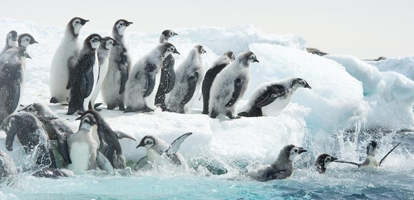 Jeunes manchots empereurs prêts à plonger (photo : Vincent Munier)