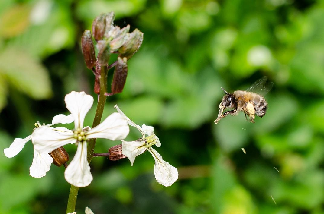 Abeille sauvage Anthophora plumipes (photo : Thierry Hubin / IRSNB)