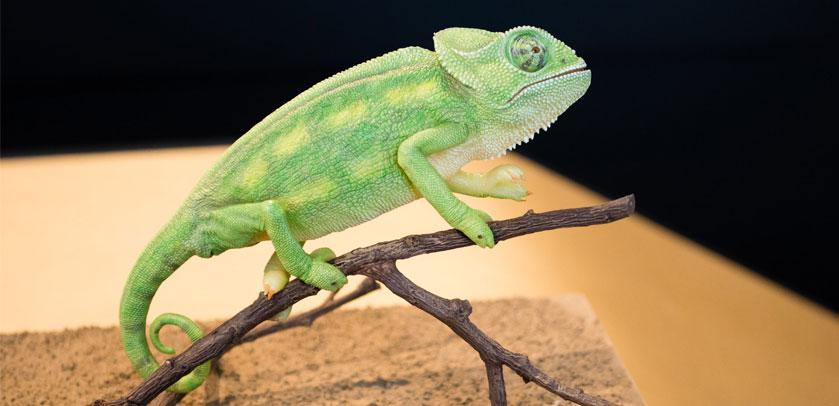 chameleon in Baby Animals
