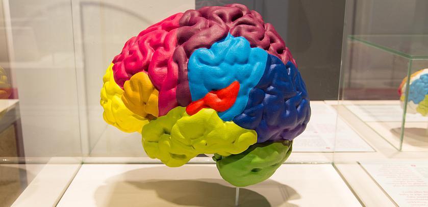 Model van een brein met de verschillende zones in verschillende kleuren