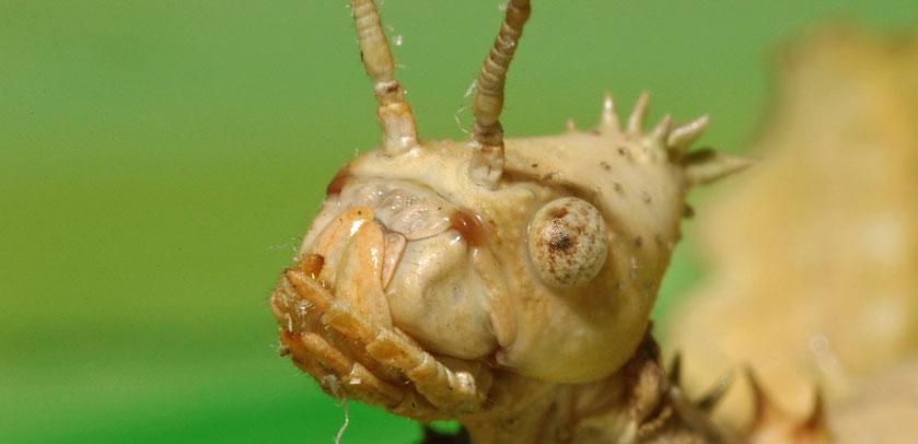Close up: Phasme - Wandelende tak - Stick Insect (Vivarium)