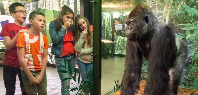 Gorilla en jonge bezoekers in de tentoonstelling APENSTREKEN (foto: Thierry Hubin / KBIN)