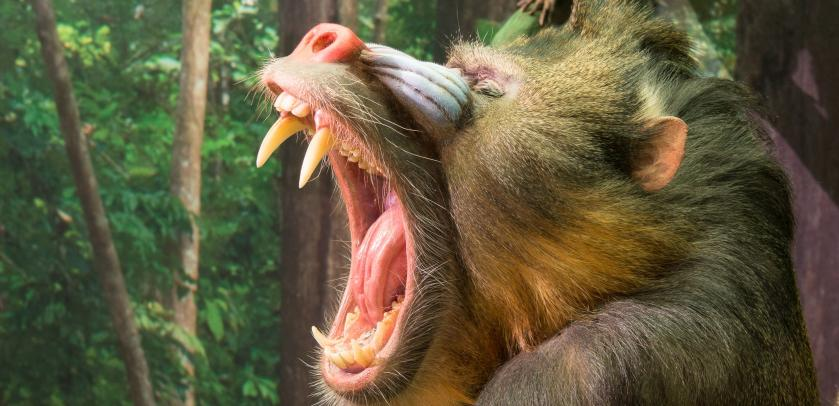 Mandrill (Mandrillus sphinx) dans l'exposition LES SINGES (photo : Thierry Hubin / IRSNB)