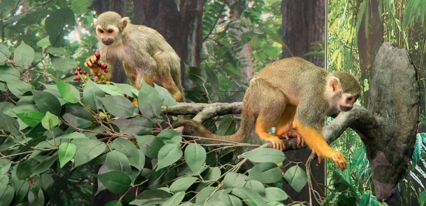 Des singes représentés en train de se nourrir sur une branche dans l'expo (photo : Thierry Hubin / IRSNB)