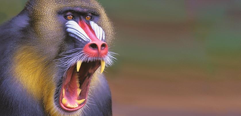 Plakat der Austellung Die Affen: ein Mandrillus sphinx