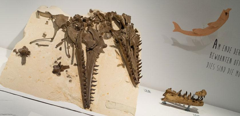 The two parts of a mosasaur skull exhibited in the Mosasaur Hall
