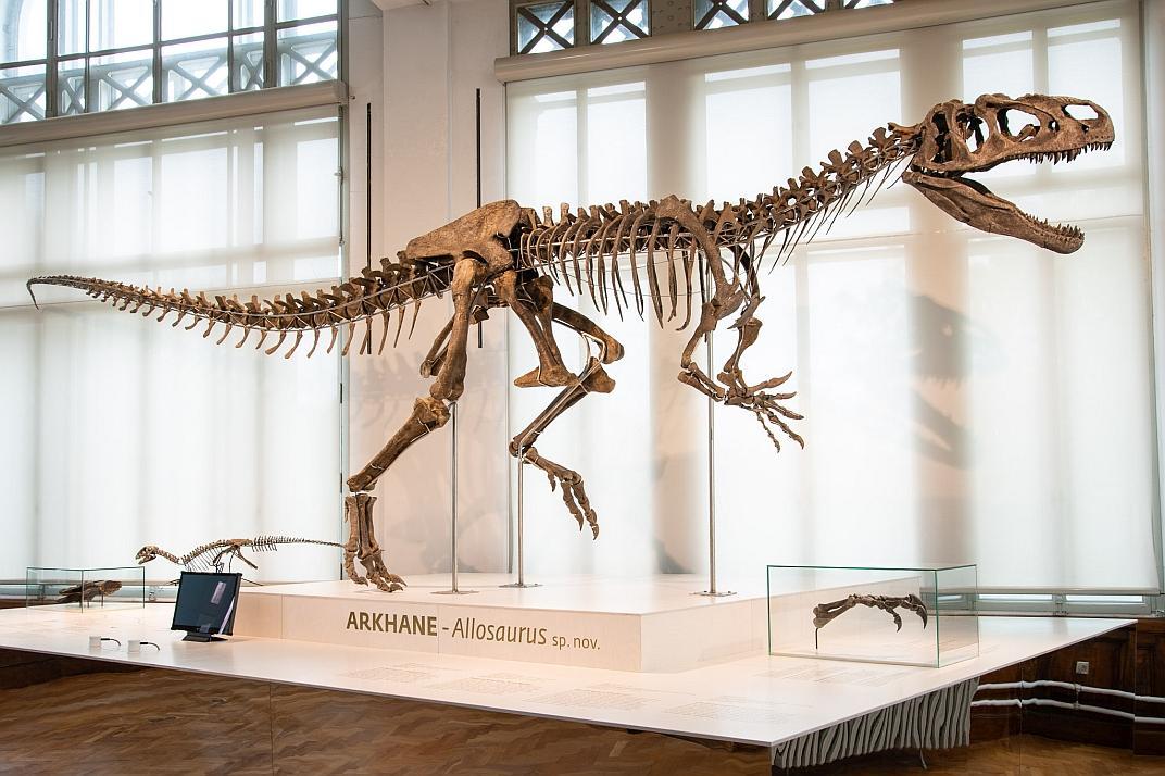 Het skelet van allosauriër Arkhane is voor 70% compleet. (foto: Thierry Hubin / KBIN)