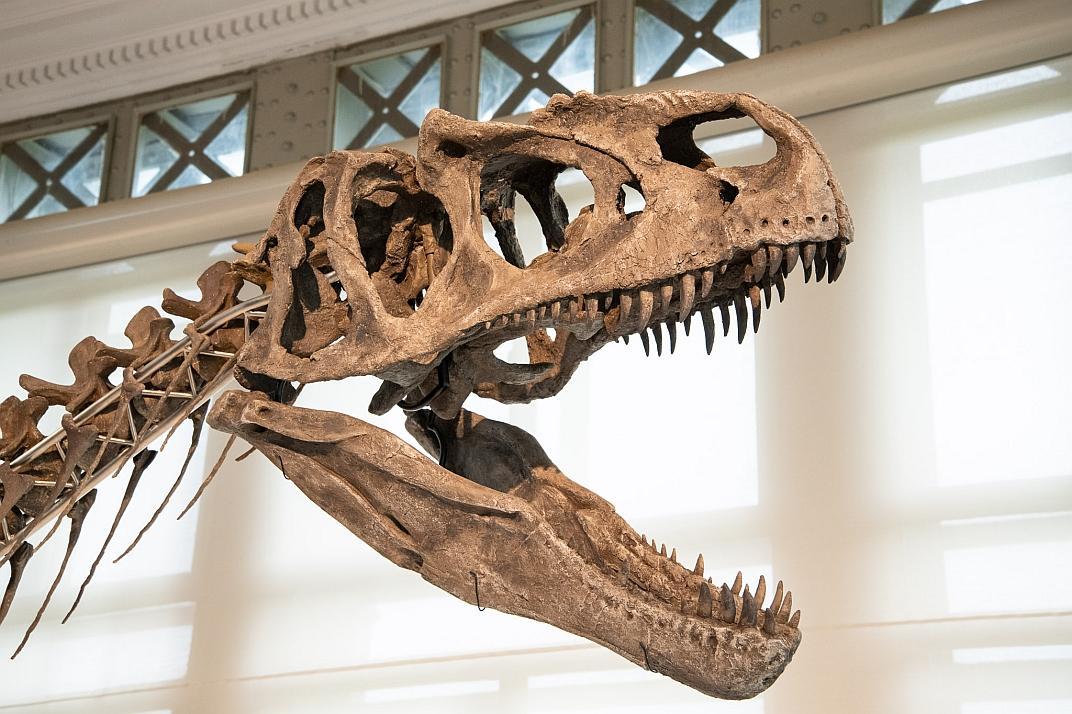 De schedel van Arkhane met de scherpe tanden (foto: Thierry Hubin / KBIN)