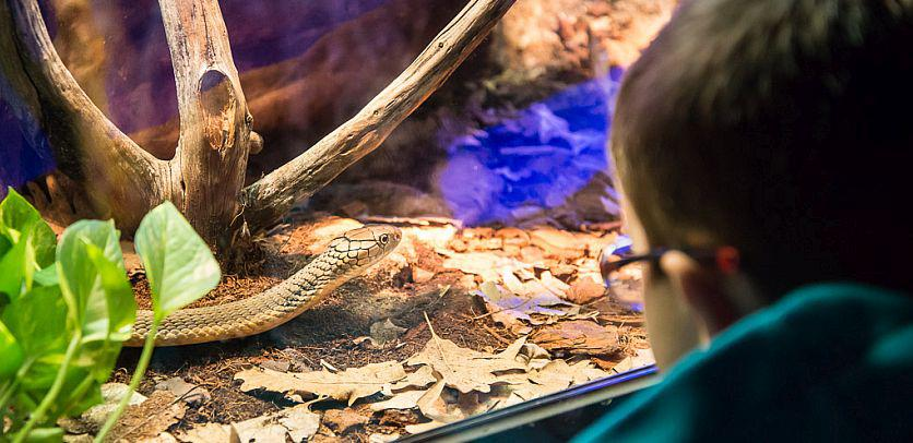 Een jonge bezoeker kijkt naar een levende slang in de tentoonstelling GIF (foto: Thierry Hubin, KBIN)