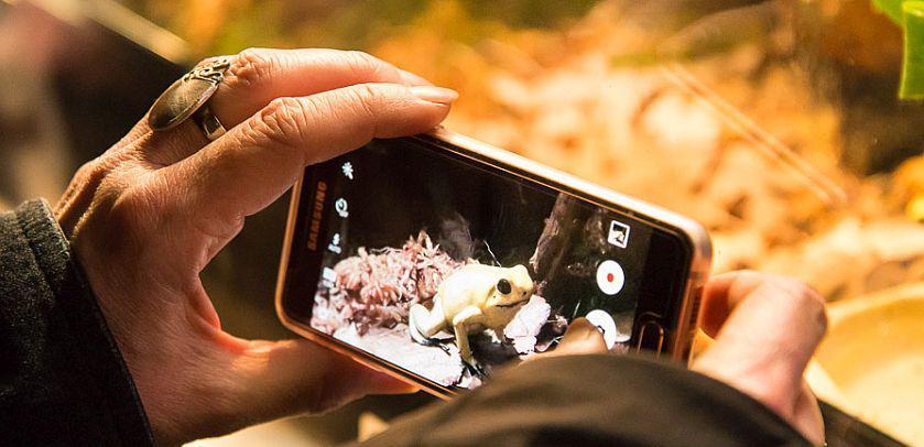 Een bezoeker van de tentoonstelling GIF neemt een foto van een giftige kikker met haar smartphone (foto: Thierry Hubin, KBIN)