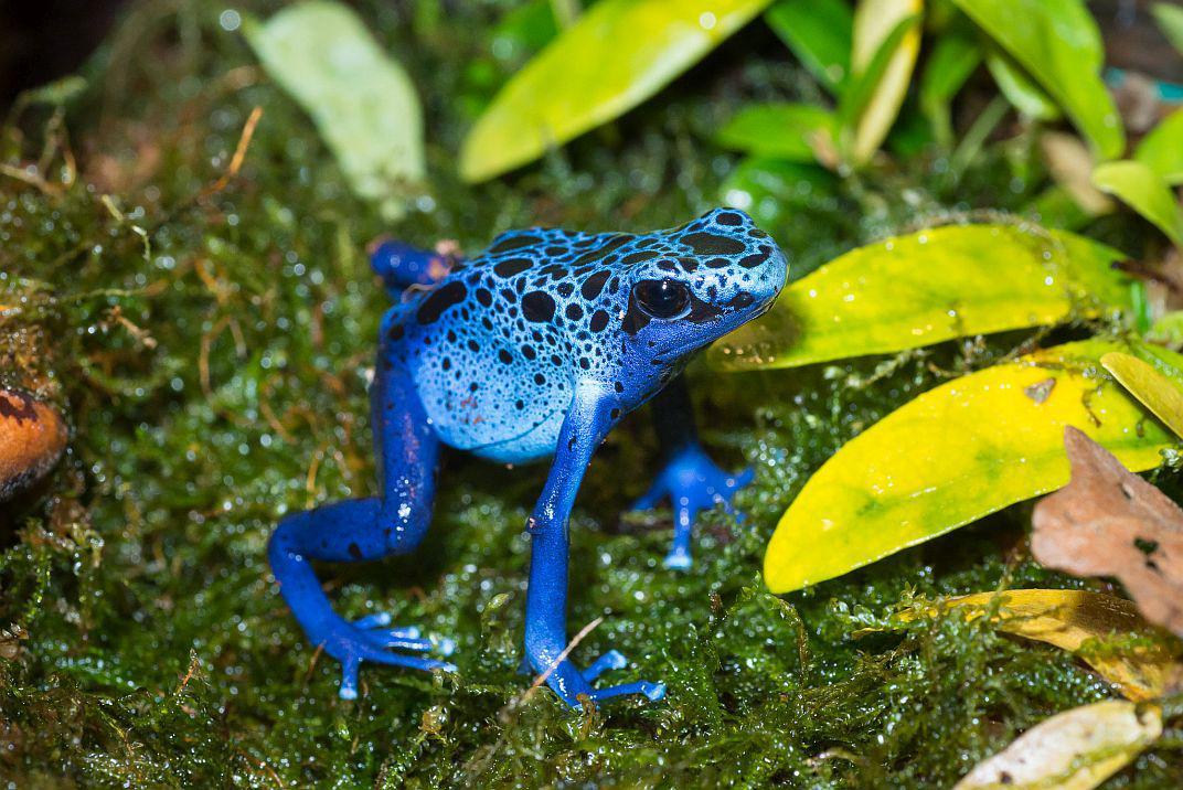 De blauwe pijlgifkikker (Dendrobates azureus). Foto: Museum/Thierry Hubin