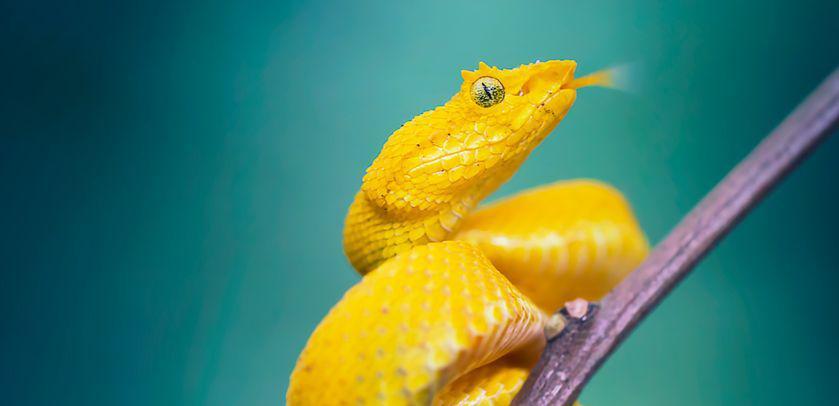 Visueel van de tentoonstelling GIF (de slang Bothriechis schlegelii)