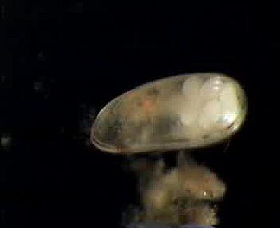 Darwinula stevensoni, model organism.