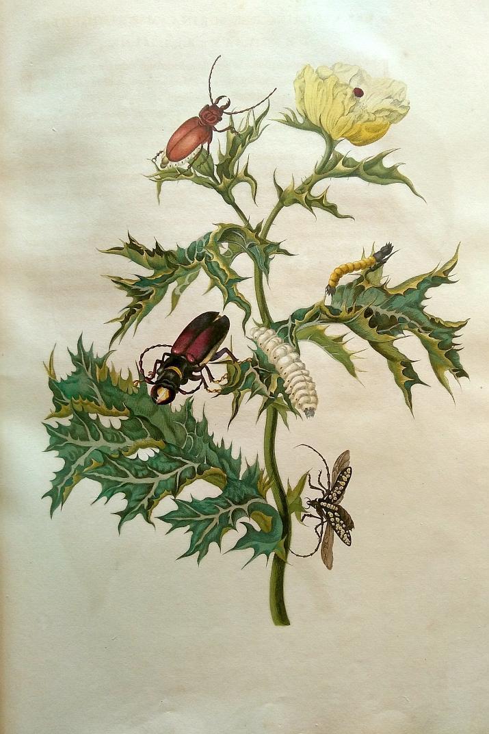 "L'un des magnifiques dessins de Maria Sibylla Merian (1647-1717) rassemblés dans l'ouvrage ""Metamorphosis Insectorum Surinamensium"" (photo: IRNSB)"