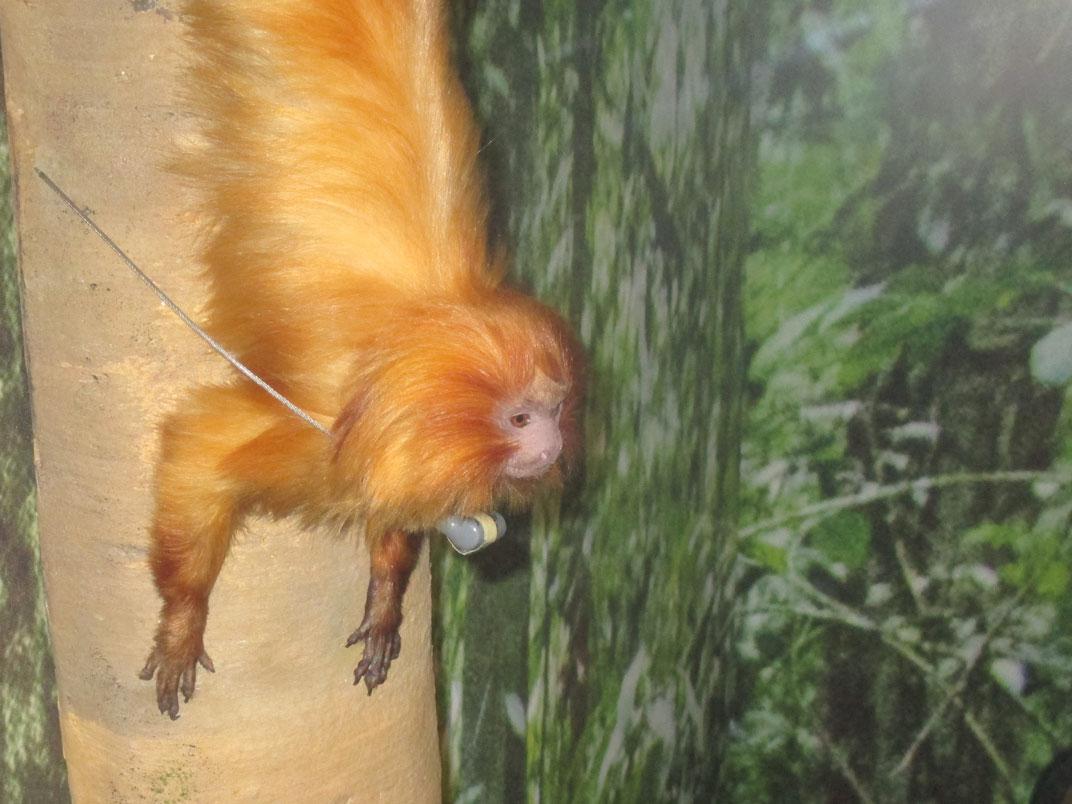 """visite guidée expo """"les singes"""""""