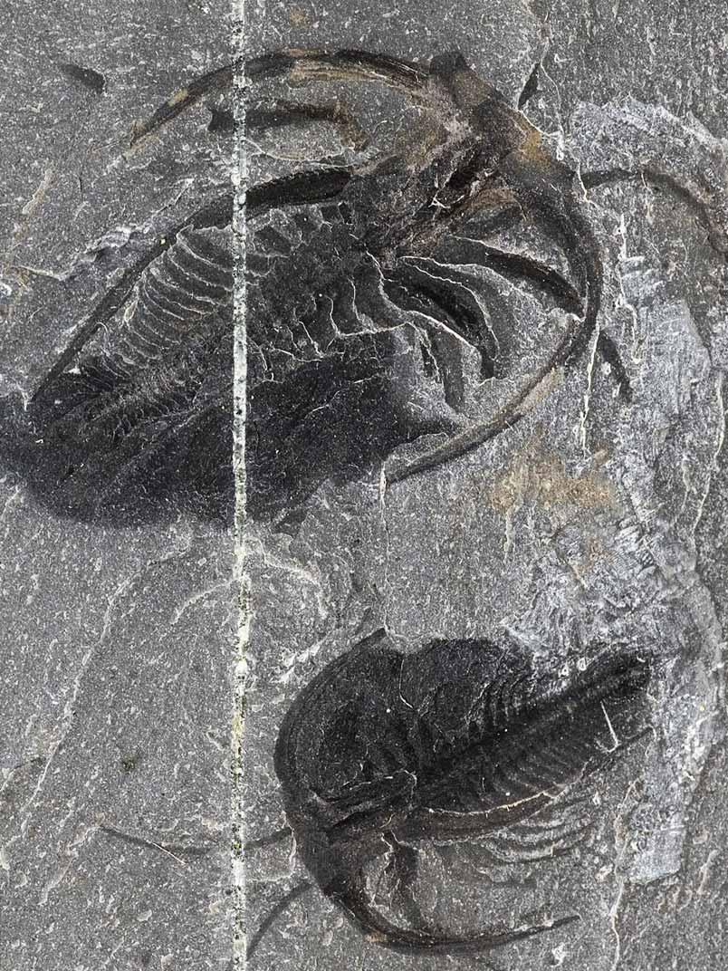 animation évolution - Marrella splendens