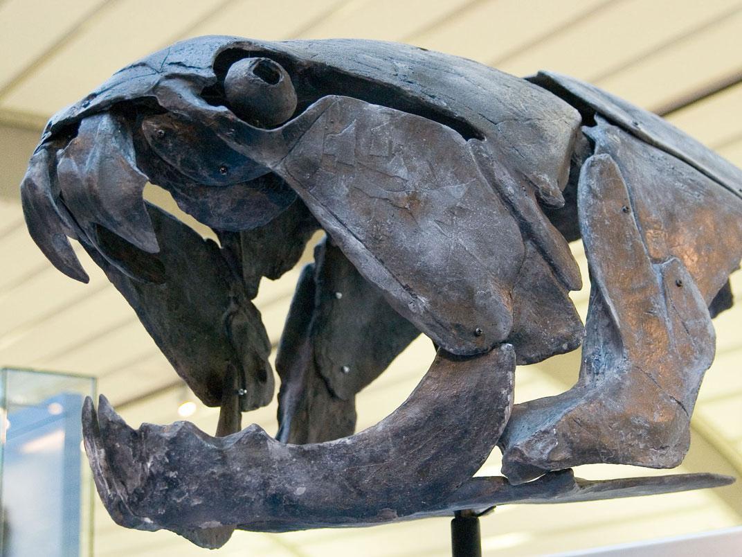 Galerie de l'Evolution: Dunkleosteus marsaisi