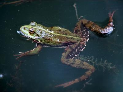 Grenouille rieuse (photo: Thierry Hubin / IRSNB)