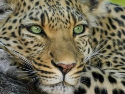 léopard Panthera pardus