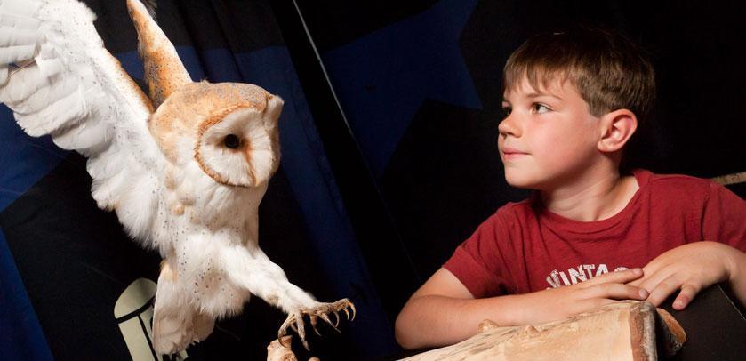Un enfant regarde un spécimen naturalisé (une effraie des clochers)