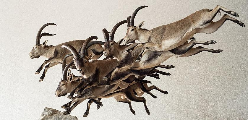 "A herd of ibex leap from rock to rock in the exhibition ""WoW – Wonders of Wildlife""."