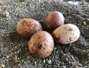 oeufs de faucons pélerins (photo : IRSNB)