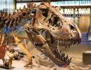 Tyrannosaurus rex (photo : Thierry Hubin, IRNSB)