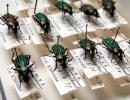 Les coléoptères Carabus (hemicarabus) nitens dans nos collections (photo : Thierry Hubin / IRSNB)