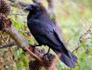 Femelle corbeau adulte (copyright: Bombtime)