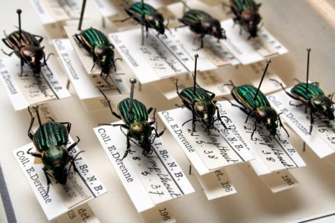 Des coléoptères Carabus nitens dans nos collections (photo : Thierry Hubin / IRSNB)