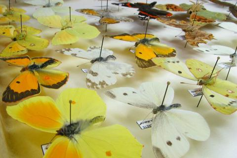 Collection of butterflies (Photo: Natural History Museum Crete)