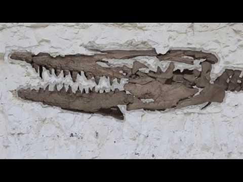 Notre Sélection Naturelle - Le Hainosaurus de Ciply
