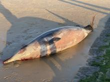 Sowerby's beaked whale on the beach of Wenduine, 7 August 2020 (© Stijn Ameye)