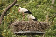 Eén van de in 2020 gezenderde jonge Ooievaars uit het Zwin, op het nest met een oudervogel. 29 juni 2020 © KBIN/K. Moreau