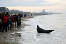 Many spectators in front of an adult grey seal (Nieuwpoort, 29 December 2019) © Steven Mertens