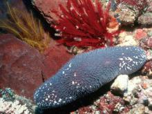 Sea cucumber Actinopyga caerulea