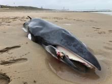 The unfortunate minke whale on the beach of Bredene (Picture RBINS/MUMM_J. Haelters)