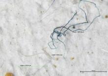 Kunststofvezels in water uit de haven van Zeebrugge, gefilterd over een zeef van 100 μm (gefotografeerd door de microscoop). Beeld: KBIN/C. De Schrijver