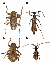The four new longhorn beetles from the cloud forests of Honduras. A: Oreodera kawasae, B: Strangalia lunai, C: Phrynidius guifarroi and D: Heterachthes caceresae. Image: BINCO npo 2021