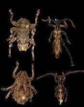 Les quatre nouveaux coléoptères longicornes des forêts nuageuses du Honduras. A : Oreodera kawasae, B : Strangalia lunai, C : Phrynidius guifarroi et D : Heterachthes caceresae. Image: BINCO asbl 2021
