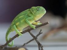 Un caméléon exposé dans la galerie Planète Vivante (photo : Thierry Hubin / IRSNB)