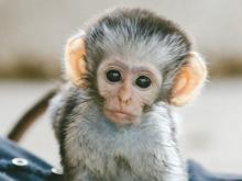 Vervet Kate  (Photo: Vervet Monkey Foundation)