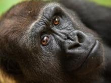 Prachtig nieuw gorillavrouwtje Mayani bij groep in ZOO Antwerpen (foto: ZOO Antwerpen)